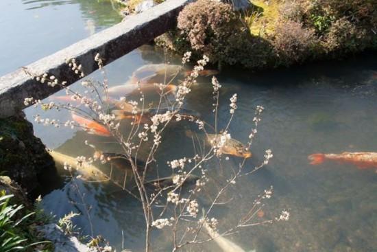 Carpes koi - Arashiyama - temple Tenryû-ji